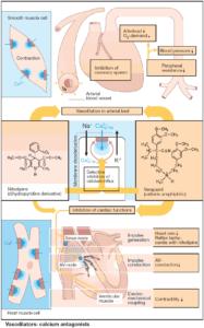 Calcium Antagonists (Ca-channel blockers)